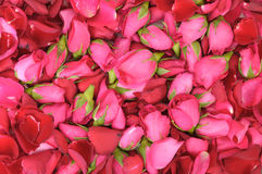 Pink roses and petals background Royalty Free Stock Photography