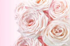 Pink roses on a pink background Stock Photos