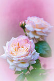 Pink roses on pink. In garden Stock Photography