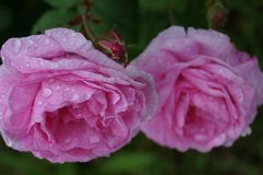 Pink roses. After rain Royalty Free Stock Image