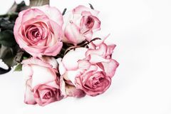 Pink roses. On a white background Stock Photo