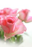 Pink roses pretty background Stock Photos