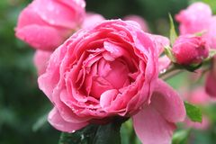 Pink roses after the rain Stock Photo