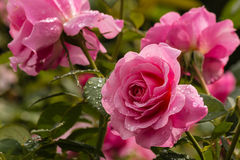 Pink roses with raindrops in bloom. Closeup of pink roses with raindrops in bloom Royalty Free Stock Photo