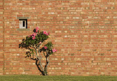 Pink roses and red brick wall Royalty Free Stock Photo