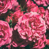Pink roses in retro style Royalty Free Stock Photography