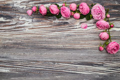 Pink roses (Rosaceae) Royalty Free Stock Image