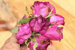 Pink roses and rose petals were sprinkled fallen. Royalty Free Stock Image