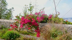 Wild rose bush with pink flowers stock image
