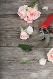 Pink roses and secateurs Stock Photography