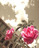 Pink roses on a sepia background Stock Image