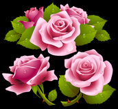 Pink roses set. Vector set of pink roses with dew drops on petals Royalty Free Stock Photos