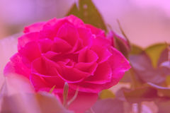 Pink roses on soft background Stock Image
