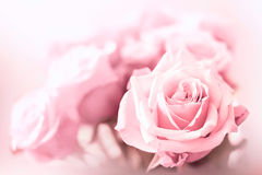 Pink roses. Pink and soft, beauty roses photography, close-up Stock Photography