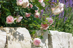 Pink roses on stone wall. Pink roses growing in a cottage garden on a stone wall Stock Photo