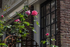 Pink roses on the street near brown house. In Europe Stock Photos