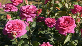 Pink roses swaying in breeze stock footage