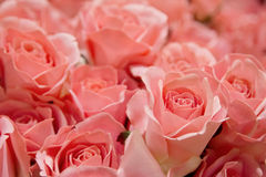 Pink roses texture and background Stock Photo