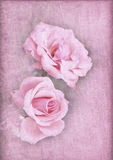 Pink roses on a textured pink background Royalty Free Stock Photos