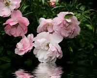 Pink roses and their reflection in the water Royalty Free Stock Photography