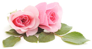 Pink Roses. Three beautiful pink roses on a white background Stock Images