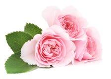 Pink Roses Royalty Free Stock Image