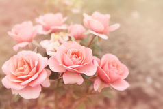 Pink roses, tinted. Beautiful bouquet of small pink roses, tinted photo Stock Photo
