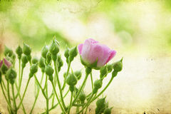 Pink roses on vintage background Stock Photography