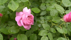 Pink roses with water drops. Bunch of beautiful pink roses in garden after rain. Beautiful rose flower in the garden after the rain. Branch roses and raindrops stock footage