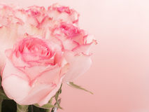 pink roses and water drops. Royalty Free Stock Photos