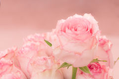 pink roses and water drops. Stock Photos