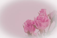 pink roses and water drops. Royalty Free Stock Image