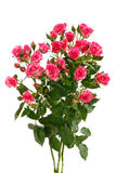 Pink roses on white Stock Photos