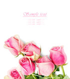 Pink roses on white Stock Images