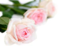 Pink roses  on white background. Pink roses isolated on white background Royalty Free Stock Photo
