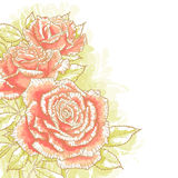 Pink roses on white background Stock Images