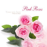 Pink roses on white background Royalty Free Stock Photo