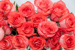 Pink roses white background Royalty Free Stock Images