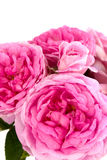 Pink roses. On a white background Stock Image