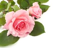 Pink Roses White Background Royalty Free Stock Photo