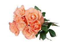 Pink roses on white background Royalty Free Stock Photos