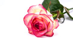 Pink roses on the white background. Closeup Royalty Free Stock Photography