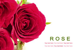 Pink roses on white background. Greeting card. Stock Photos