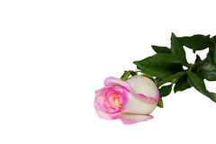 Pink roses White background. Isolated Stock Images