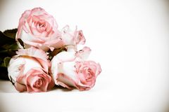 Pink roses. On a white background Royalty Free Stock Images