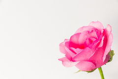 Pink roses on a white background Stock Photos