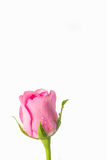 Pink roses on a white background Royalty Free Stock Photos