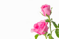 Pink roses on a white background Royalty Free Stock Images