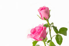 Pink roses on a white background Stock Photography