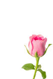 Pink roses on a white background Stock Image